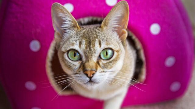 こっちを見ているシンガプーラの成猫