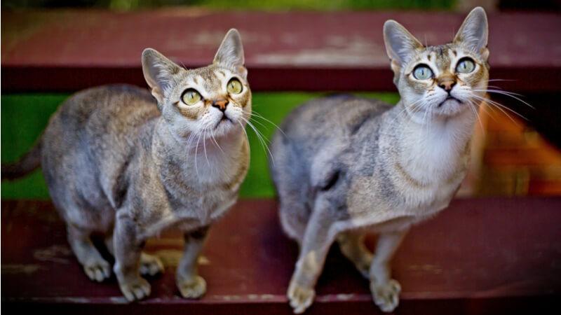 2匹のシンガプーラの成猫(全身)