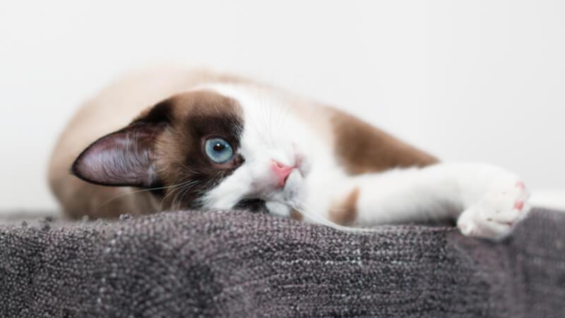くつろいでいるスノーシューの成猫