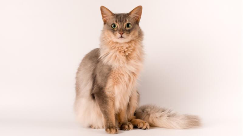 こっちを見ているソマリの成猫(全身)