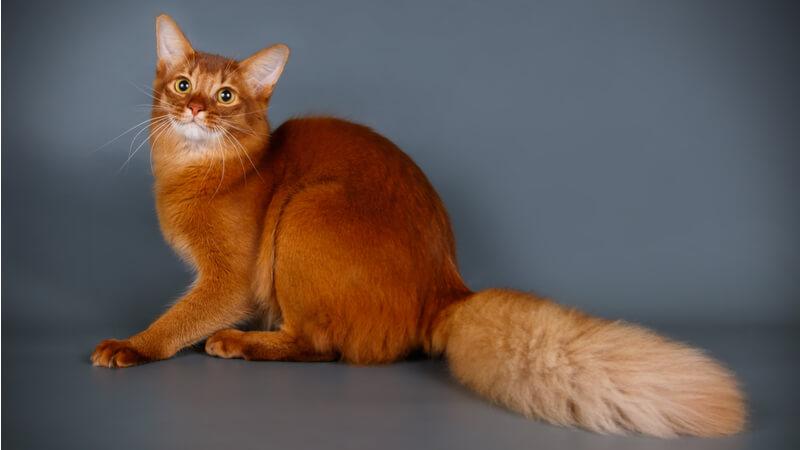ソマリの成猫(全身)
