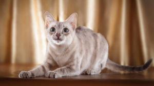 こっちを見ているトンキニーズの成猫(全身)