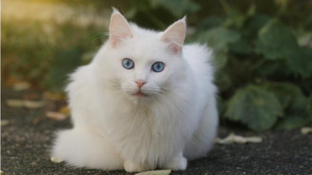 こっちを見ているターキッシュアンゴラの成猫(全身)
